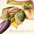 Flower of the Banana Tree  Poster by Georg Dionysius Ehret