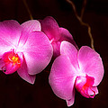 Flower - Orchid - Better in a set Print by Mike Savad