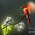 Flying Cardinal landing on branch Poster by Dan Friend