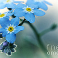 Forget me not Print by Simona Ghidini