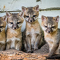 Four Fox Kits Print by Paul Freidlund