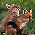 Fox Cub Buddies Print by William Jobes
