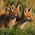 Fox Cubs at Sunrise Print by William Jobes