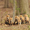 Fox Family Portrait Print by Everet Regal