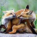 Fox kits at play - an exercise in dominance Print by Merle Ann Loman