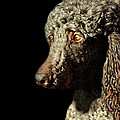 French Poodle Standard Print by Diana Angstadt