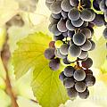 Fresh ripe grapes Print by Mythja  Photography