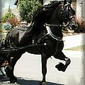Friesian Driving Poster by Royal Grove Fine Art