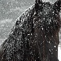 Friesian Snow Print by Fran J Scott