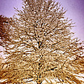 Frosted Branches Print by Marty Koch