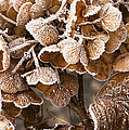 Frosted Hydrangea Poster by Anne Gilbert