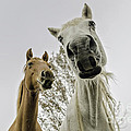 Funny Horses Print by Cindy Bryant