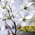 Gentle white spring flowers Poster by Elena Elisseeva