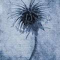 Geum urbanum Cyanotype Poster by John Edwards
