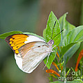 Giant orange tip butterfly Poster by Jane Rix