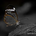 Glass Wing Butterfly with Black and White Background Print by Alan Palmer