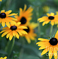 Glorious Garden of Black Eyed Susans Print by Sabrina L Ryan