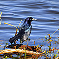 Glorious Grackle Print by Al Powell Photography USA