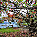 GNARLY TREES of SOUTH HILO BAY - HAWAII Print by Daniel Hagerman