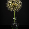 Goat's Beard In Vase Print by Mitch Shindelbower