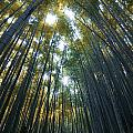 Golden Bamboo Forest Poster by Aaron S Bedell