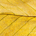 Golden Beech Leaf Poster by Anne Gilbert
