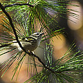 Golden-Crowned Kinglet Poster by Christina Rollo