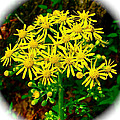 Golden Ragwort in Donivan Slough on Mile 283 of Natchez Trace Parkway-MS Poster by Ruth Hager
