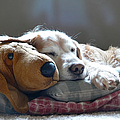 Golden Retriever Dog Sleeping with my Friend Poster by Jennie Marie Schell
