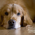 Golden Retriever Missing You Print by James BO  Insogna