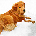 Golden Retriever Snowball Print by Christina Rollo