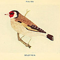 Goldfinch Poster by Unknown Artist
