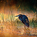 Goliath heron with sunrise over misty river Print by Johan Swanepoel