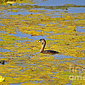 Gorgeous Grebe Print by Al Powell Photography USA