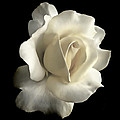 Grandeur Ivory Rose Flower Poster by Jennie Marie Schell