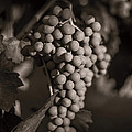Grapes in Grey 2 Print by Clint Brewer