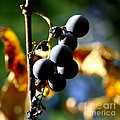 Grapes on the Vine in Square  Poster by Neal  Eslinger