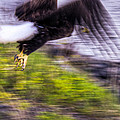 Great American Bald Eagle in Flight Homer Alaska Print by Natasha Bishop
