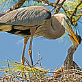 Great Blue Heron Adult Feeding Nestling Poster by Millard H. Sharp