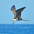 Great Frigate Bird Poster by Chris Thaxter