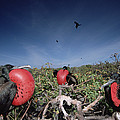Great Frigatebird Males In Courtship Poster by Tui De Roy