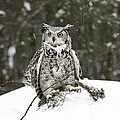 Great Horned Owl in a Winter Snow Storm Poster by Inspired Nature Photography By Shelley Myke