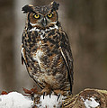 Great Horned Owl Watching You Print by Inspired Nature Photography By Shelley Myke
