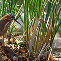Green Heron FIshing Poster by Kathleen Bishop