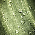 Green leaf with raindrops Print by Elena Elisseeva