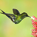Green Thorntail Hummingbird Print by Anthony Mercieca