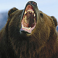 Grizzly Bear Close Up Of Growling Face Print by Konrad Wothe