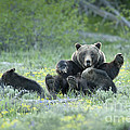 Grizzly Romp - Grand Teton Print by Sandra Bronstein