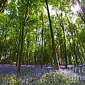 Ground level Bluebells Poster by Richard Thomas