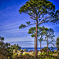 Gulf Pines Print by Marvin Spates